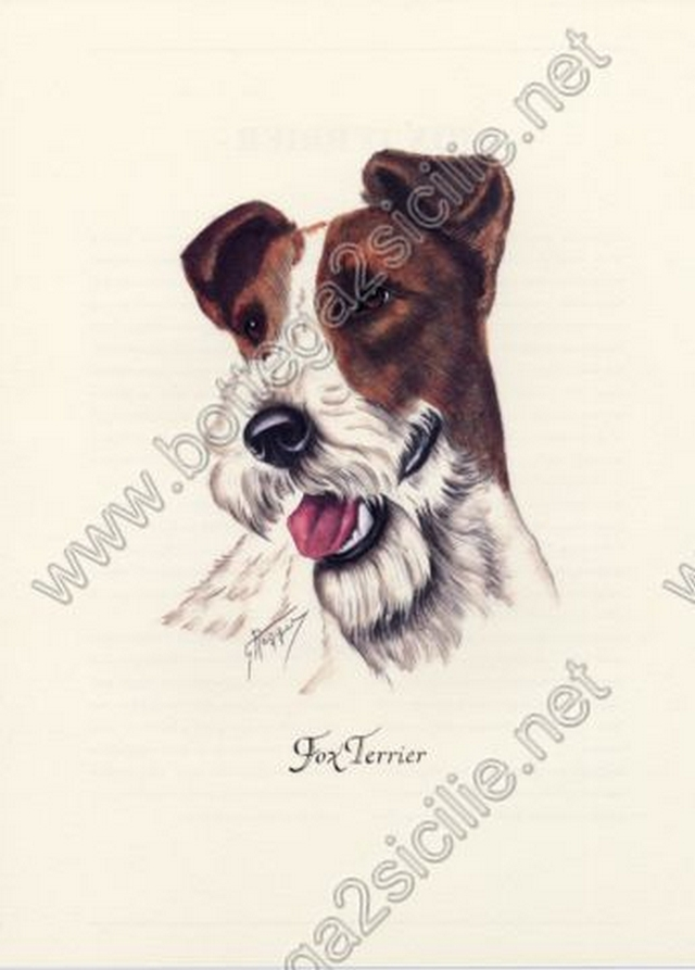 Cane Fox terrier 008 Poster ristampa cm 32x45