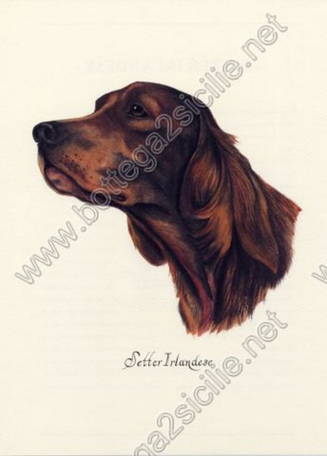Cane Setter irlandese 010 Poster ristampa cm 32x45